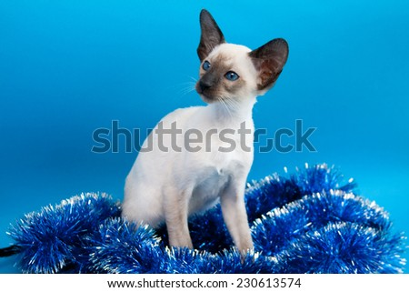 Oriental blue-point Siamese kitten sitting with Christmas garland on blue background - stock photo