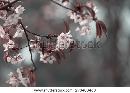 Oriental cherry branch with flowers in the spring, toning - stock photo