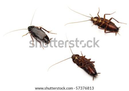 Oriental Cockroaches (Blatta orientalis). - stock photo