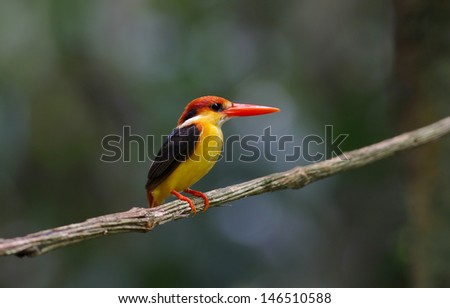 Oriental Dwarf Black-backed Kingfisher Ceyx Lacepede
