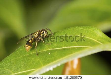 Oriental Fruit Fly on Firecracker Chili Plant Non sharpen - stock photo