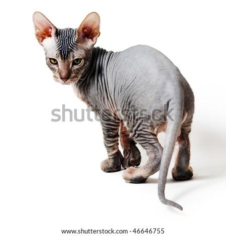oriental kitten isolated on white - stock photo
