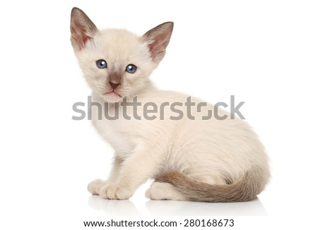 Oriental kittens sits on a white background