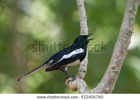 Oriental Magpie Robin bird perched on a tree - stock photo