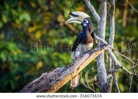 Oriental pied hornbill(Anthracoceros albirostris) stair at us on the branch in nature