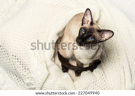 Oriental seal-point siamese cat posing on a white  - stock photo