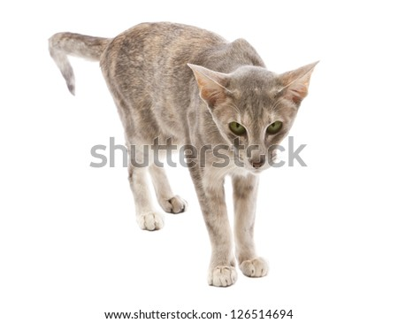 Oriental shorthair cat standing, looking at viewer, isolated on white