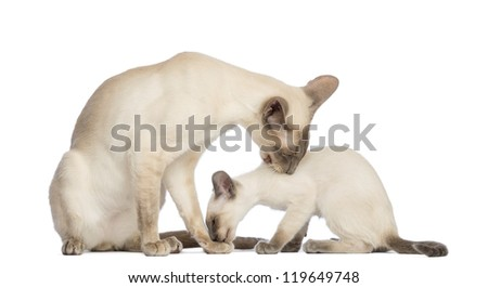 Oriental Shorthair father sitting with its kitten, 9 weeks old, and cleaning each other against white background - stock photo