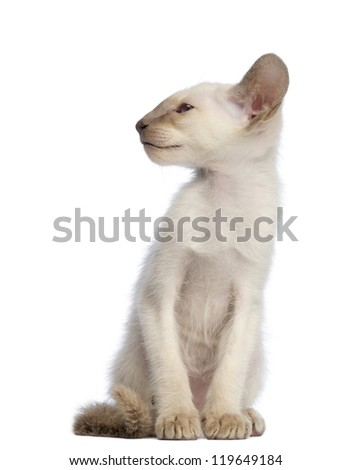Oriental Shorthair kitten sitting and looking away against white background