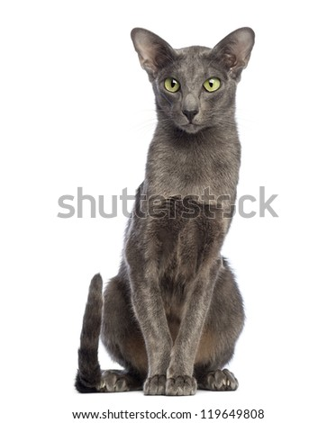 Oriental Shorthair sitting and looking away against white background - stock photo