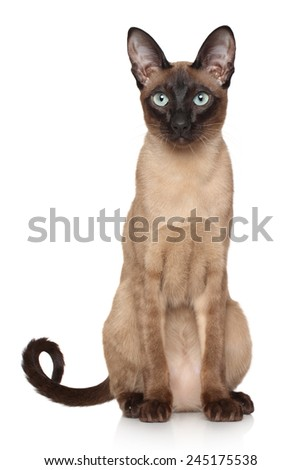 Oriental Siamese cat sits on white background - stock photo