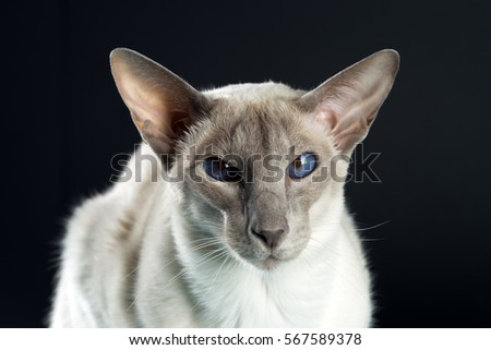 Oriental siamese cat sitting on a black background.