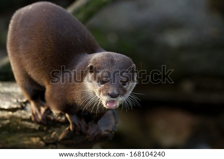 Oriental small-clawed otter - stock photo