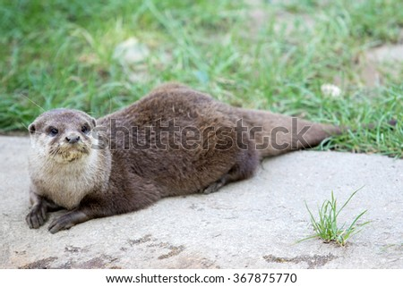 Oriental small-clawed otter (Amblonyx cinerea) - stock photo
