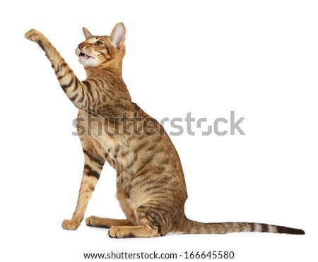 Oriental striped cat isolated on white background - stock photo