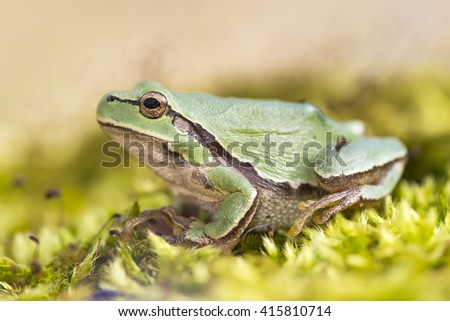 Oriental tree frog (Hyla arborea) resting on a moss carpet