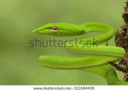 Oriental Whip Snake - stock photo