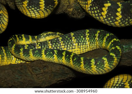 Oriental whip snake, green viper from Borneo. - stock photo