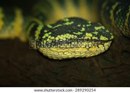 Oriental whip snake, green viper in Singapore Zoo - stock photo