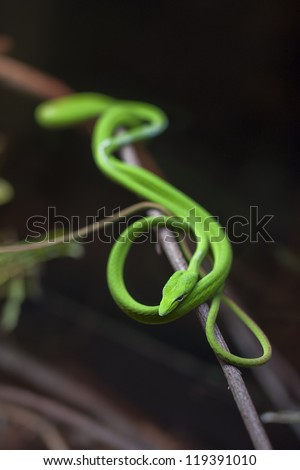 Oriental Whip Snake in the dark - stock photo