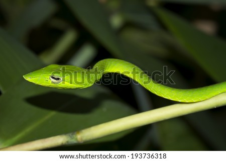 Oriental whipsnake in nature