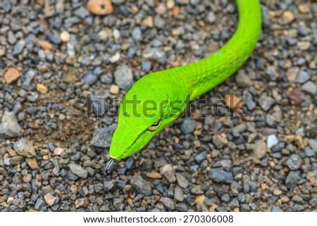 Oriental Whipsnake or Asian Vine Snake (Ahaetulla prasina) - stock photo