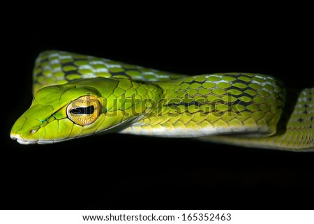 Oriental Whipsnake or Asian Vine Snake (Ahaetulla prasina) hunts at night by hanging from a tree in the jungles of Borneo. This long, slender snake waits patiently to ambush passing or sleeping prey.