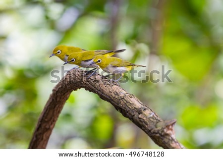 Oriental White-eye Bird, standing on a branch