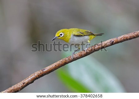 Oriental white-eye Zosterops palpebrosus Birds of Thailand