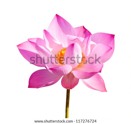original lotus or water lily aquatic flora isolated on white with paths