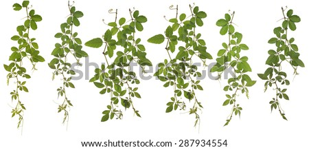 Original size Full Frame of the Collected Cayratia Japonica isolated on white background Cayratia japonica (Thunb.) Gagnep. (Angiospermae) (Dicotyledoneae) (Rosidae) (Vitaceae) (Cayratia Juss) - stock photo