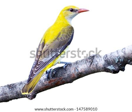 Oriole in front of white background, isolated. The female oriole sitting on a branch. Oriolus oriolus, Golden Oriole.  Russia, the Ryazan region (Ryazanskaya oblast), the Pronsky District, Denisovo.