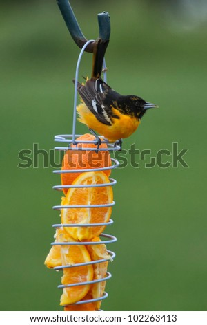 Oriole on orange feeder