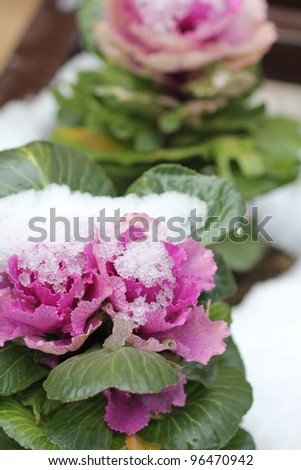 Ornamental cabbage cover with snow - stock photo