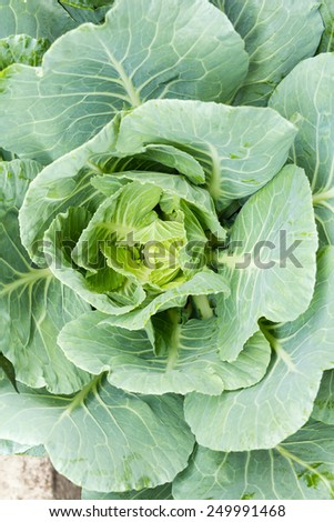 ornamental cabbage in the garden