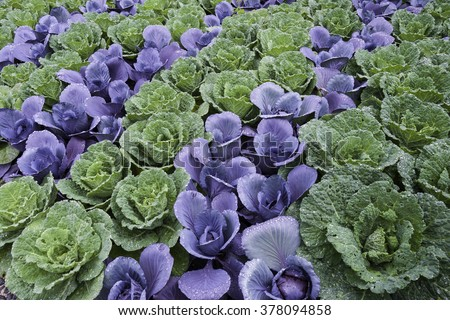 Ornamental cabbages planted in colorful rows create an organic design at Cantigny Park in Wheaton, Illinois. - stock photo
