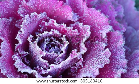Ornamental decorative cabbage covered with a morning frost - stock photo