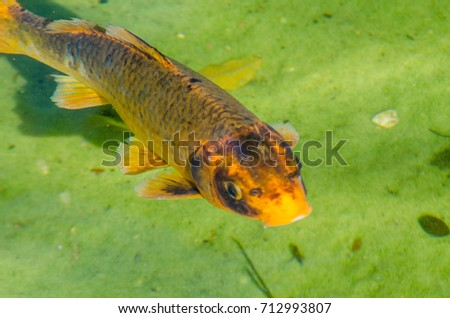 Stock images royalty free images vectors shutterstock for Ornamental pond fish types
