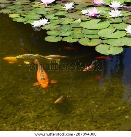Ornamental fish that swim in a pond and blooming water lilies. - stock photo