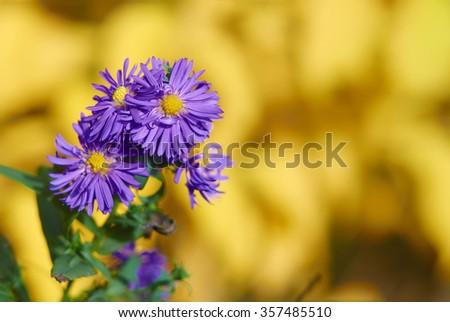 Ornamental garden plants flowering in autumn Perennial Aster (Aster). Flowering bush large - stock photo