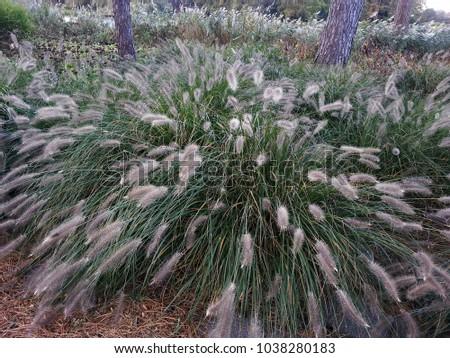 Hameln Ornamental Grass Ornamental grass garden fountain grass pennisetum stock photo ornamental grass in the garden fountain grass pennisetum alopecuroides hameln workwithnaturefo
