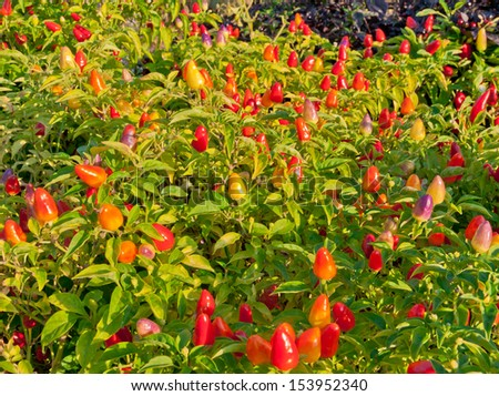 Ornamental pepper in a garden shaped as Christmas lights - stock photo