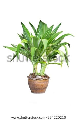 Ornamental plants isolate - stock photo
