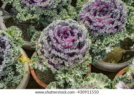 Ornamental purple cabbage in pots.