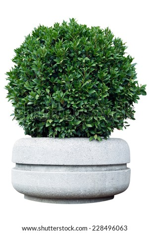 Ornamental shrub in a pot with clipping path