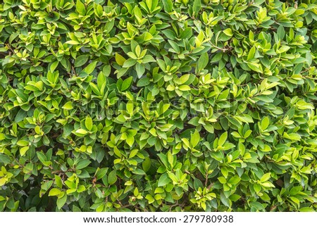 Ornamental Shrubs Wall Shrubs In Outdoor Stock Photo