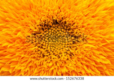 ornamental sunflower background