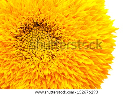 ornamental sunflower isolated on white