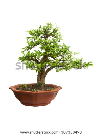 Ornamental tree in a pot on white