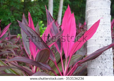 Ornamental tropical plant cordyline pink blade stock photo edit now ornamental tropical plant cordyline with pink blade leaves mightylinksfo